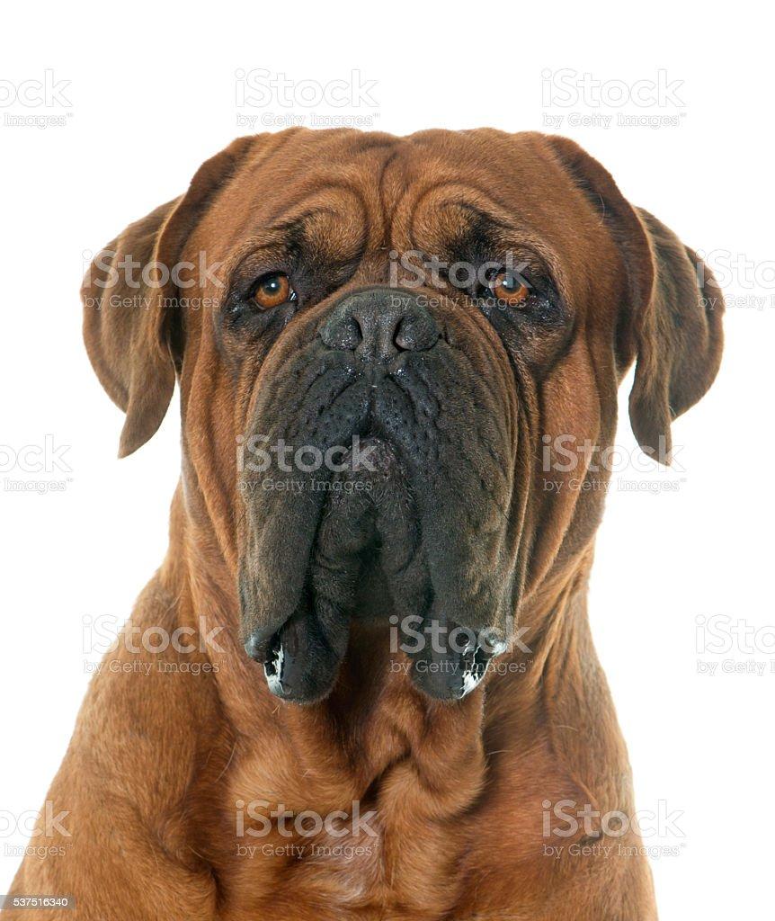 Dogue de Bordeaux stock photo