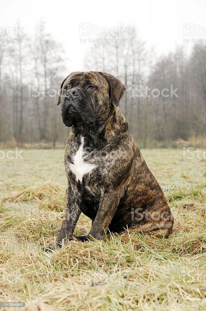 Mastiff stock photo