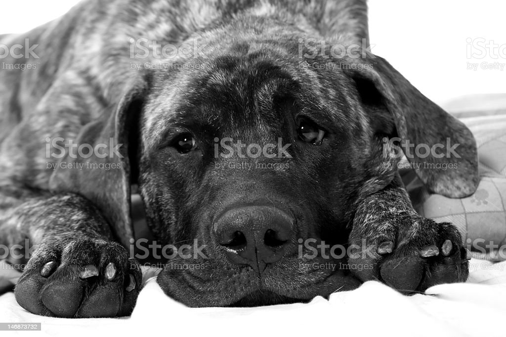 mastiff puppy stock photo