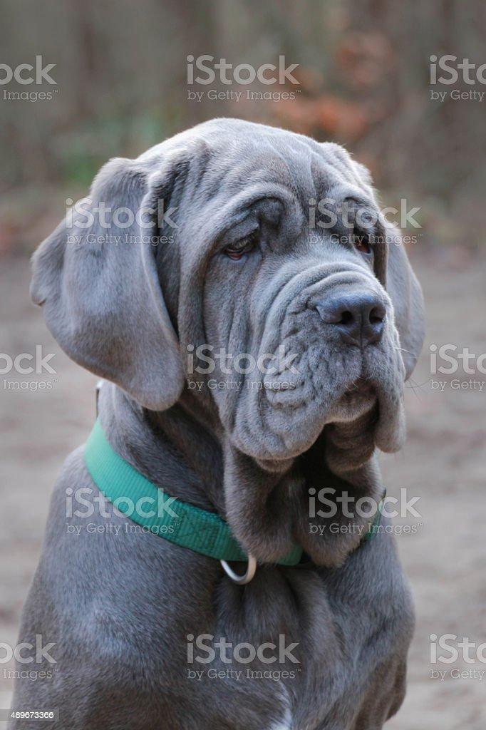 Mastino Napolitano puppy stock photo