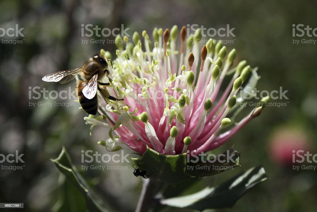 Matchstick Banksia plus Bee royalty-free stock photo