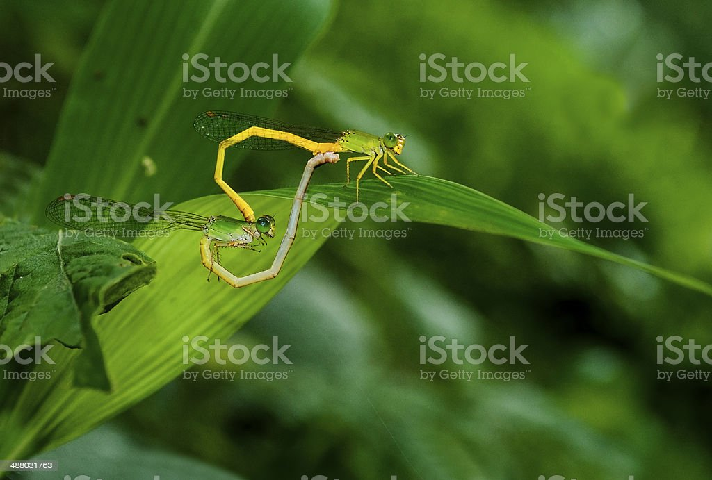 Mated damslflies on leaf stock photo