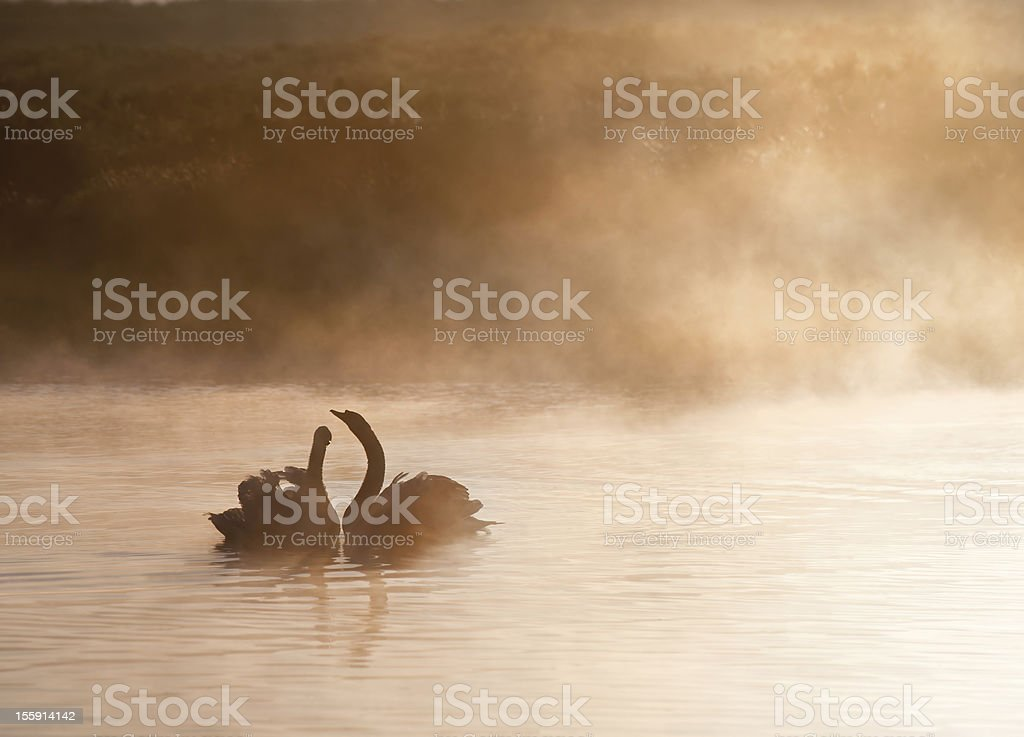 Mated pair of swans on foggy Autumn Fall lake royalty-free stock photo