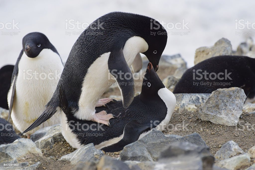 Mating Adelie Penguins stock photo
