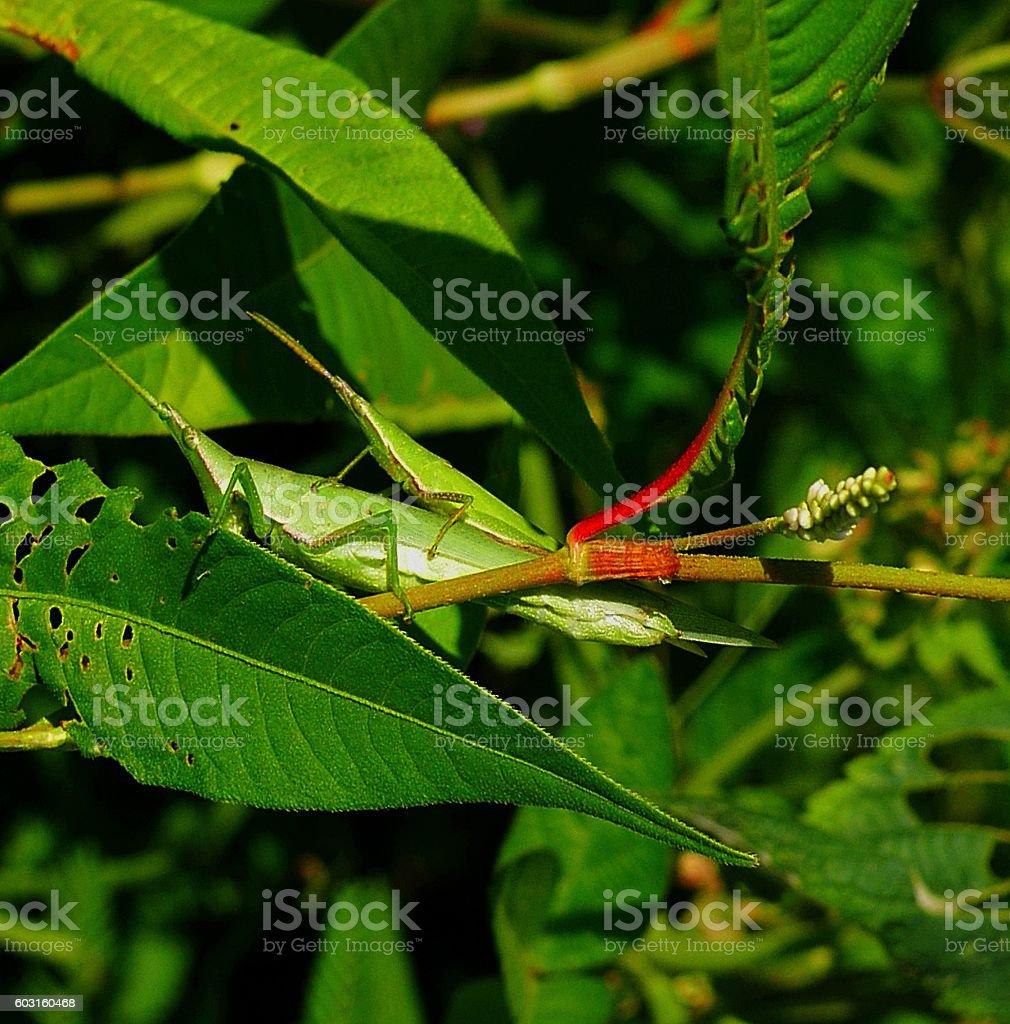 Mating Atractomorpha lata stock photo
