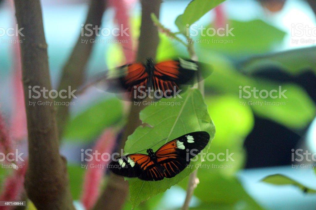Mating Behavior of Postman Longwing Butterflies stock photo