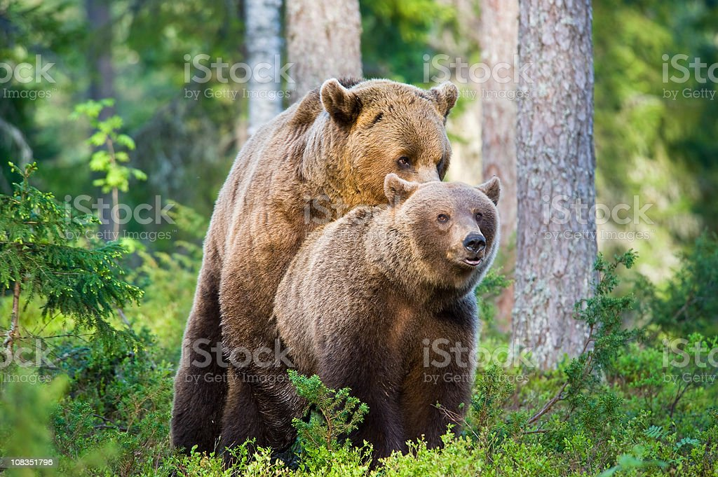 Mating Brown Bears, early morning light, very rare wildlife-shot stock photo