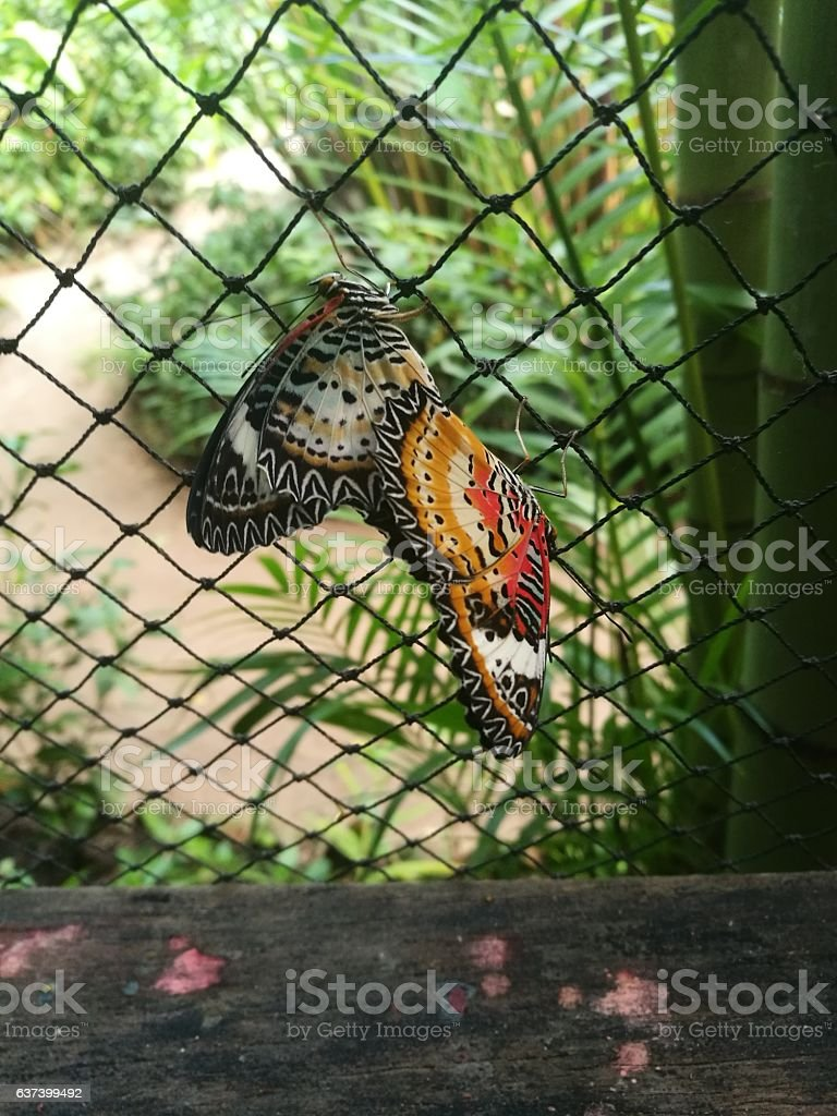 Mating Butterfies at The Butterfly Centre, Siem Reap, Cambodia stock photo