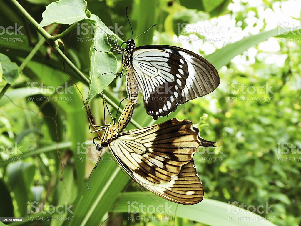 Mating Butterflies stock photo