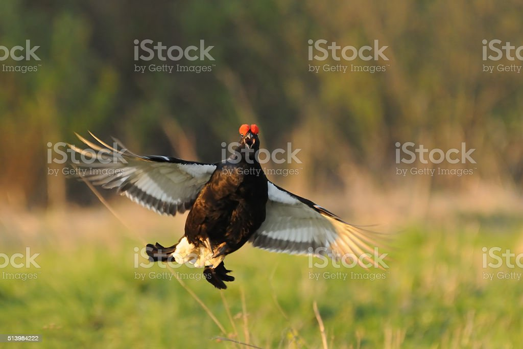 Mating call of jumping male Black grouse stock photo