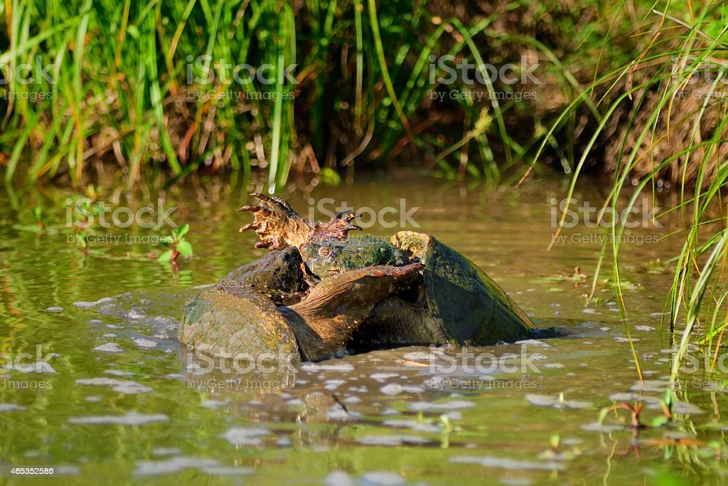 Mating Common Snapping Turtles stock photo