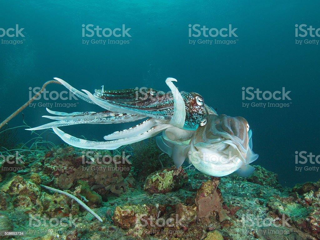 mating cuttlefish stock photo