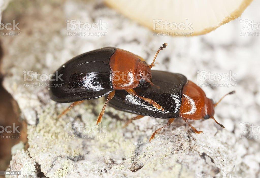 Mating Darkling beetles (Neomida) stock photo