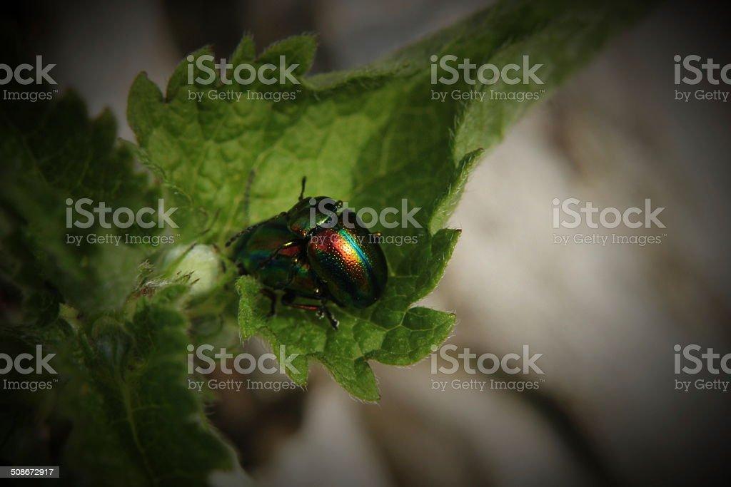 Mating Dead-Nettle Leaf Beetle stock photo