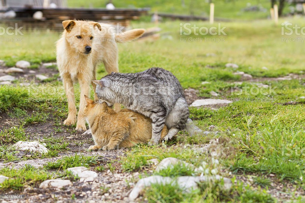 Mating domestic cats - sex in nature stock photo