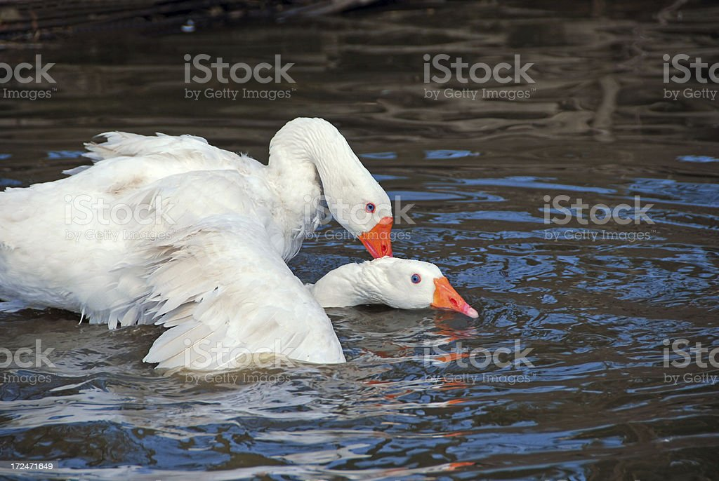 Mating Embden Goose stock photo