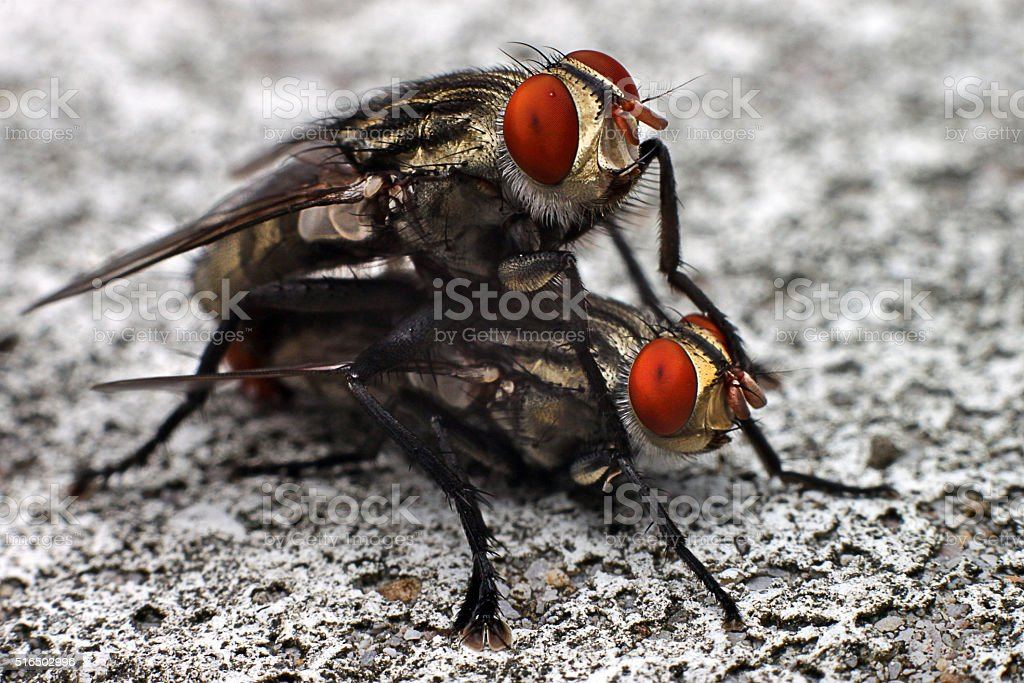 Mating Flies stock photo