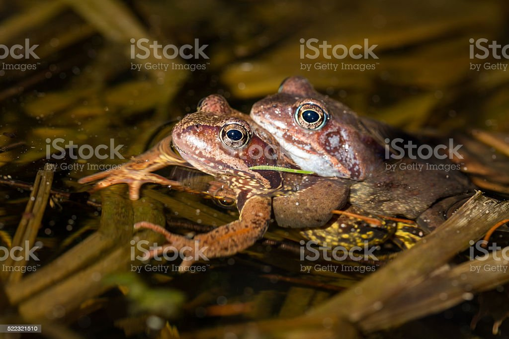 Mating frogs in water stock photo