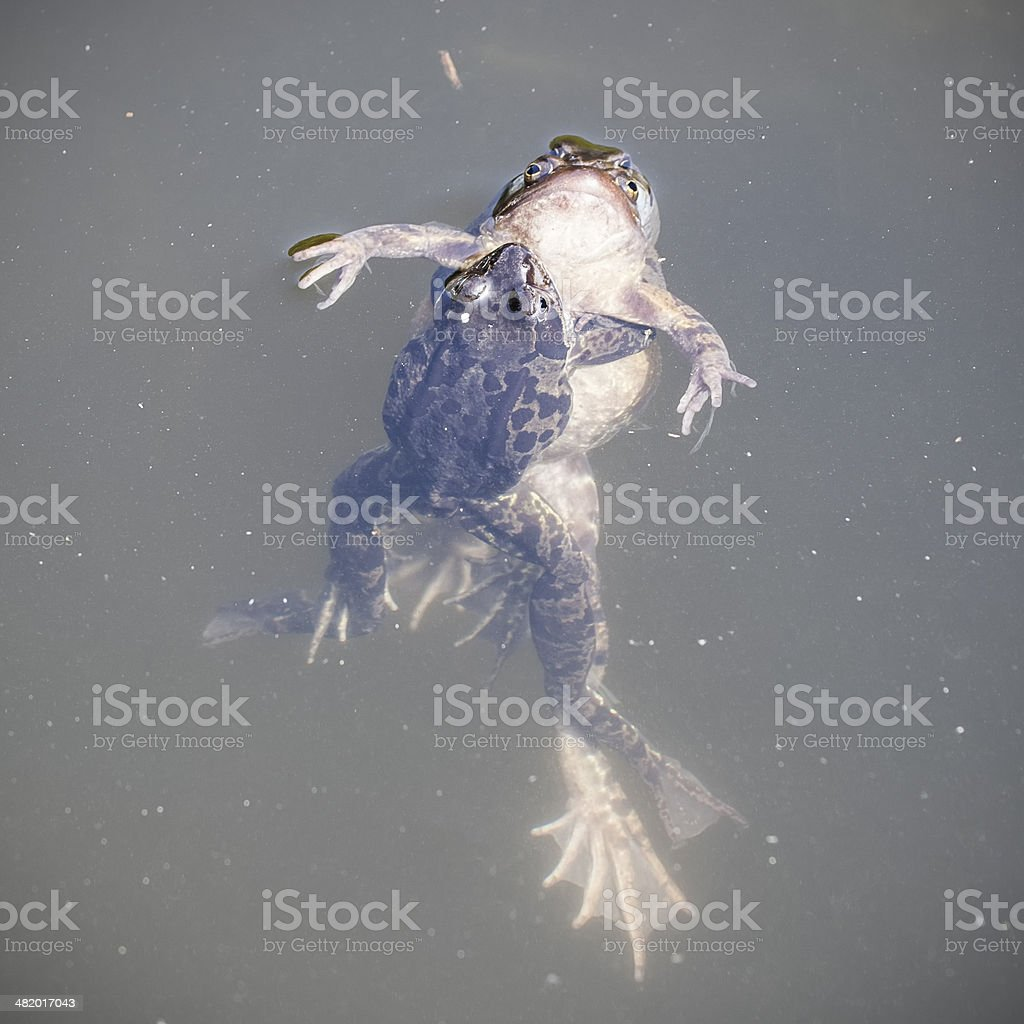 mating frogs royalty-free stock photo
