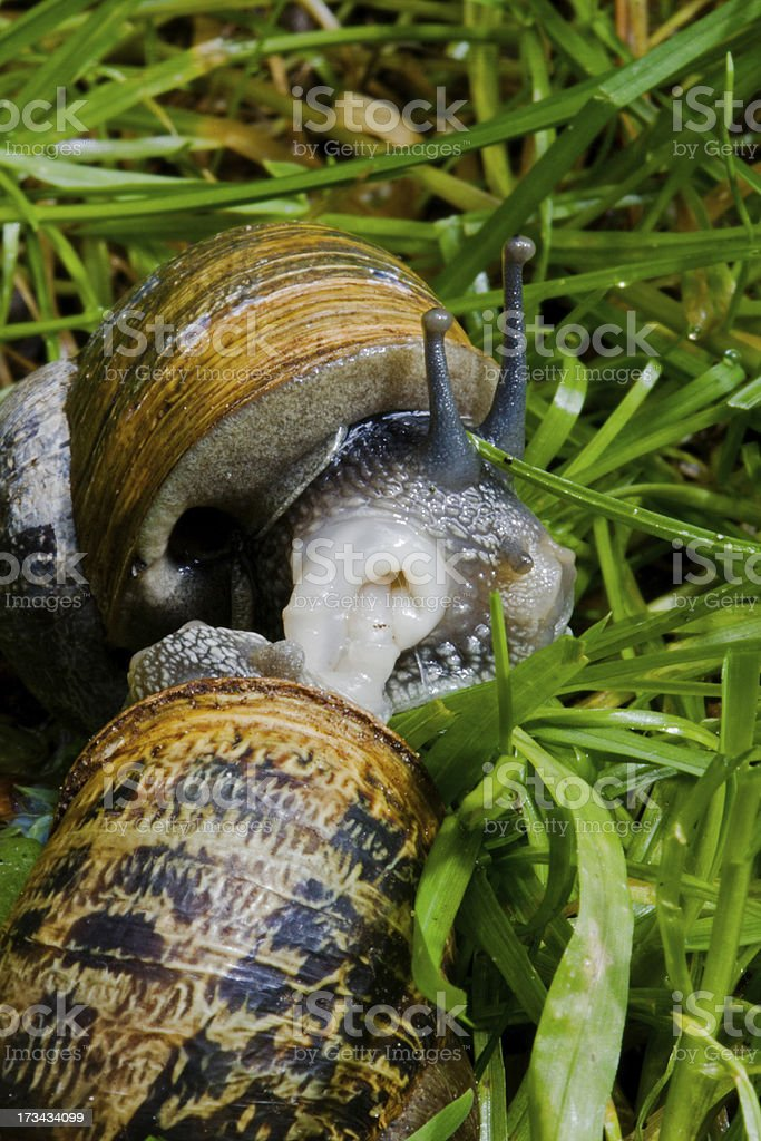Mating Garden snails royalty-free stock photo