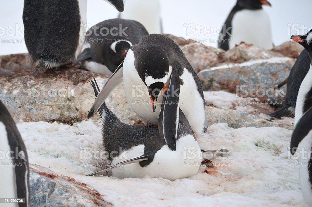 Mating Gentoo Pair stock photo