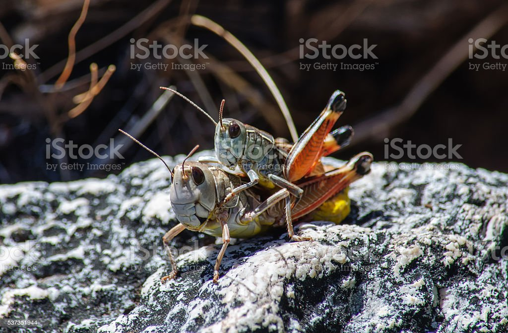 mating grasshoppers, crickets on rock. macro stock photo