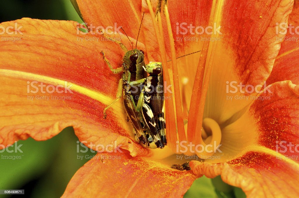 Mating Grasshoppers on an orange Daylily. stock photo