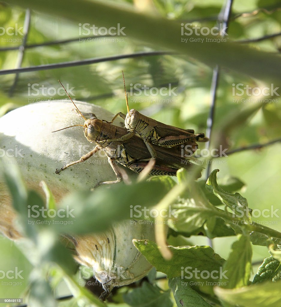 Mating Grasshoppers royalty-free stock photo