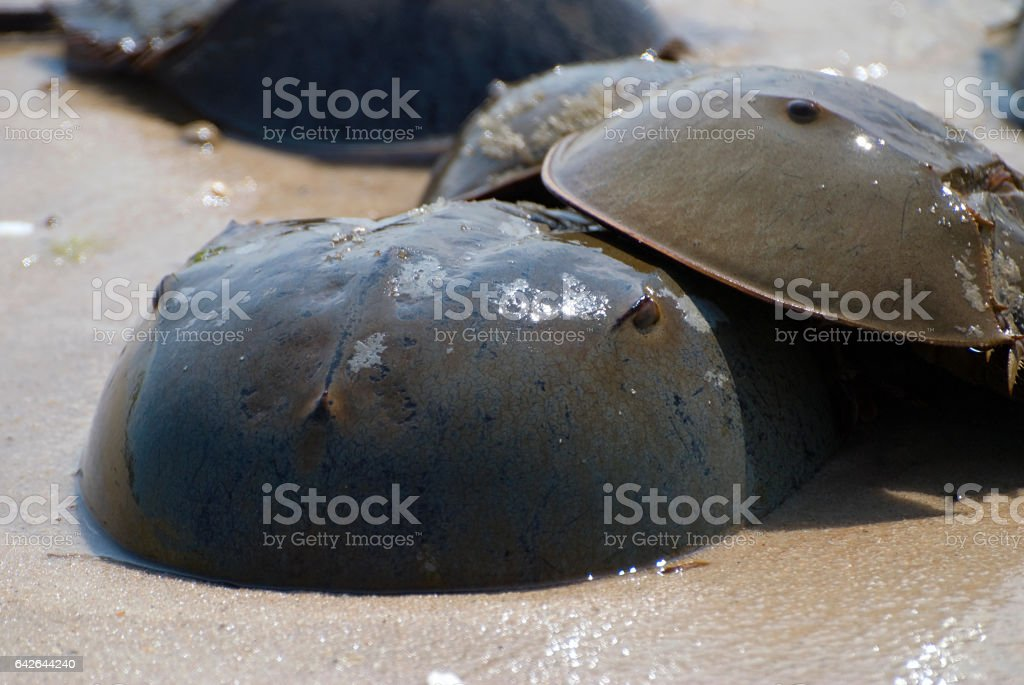 Mating Horseshoe Crabs stock photo