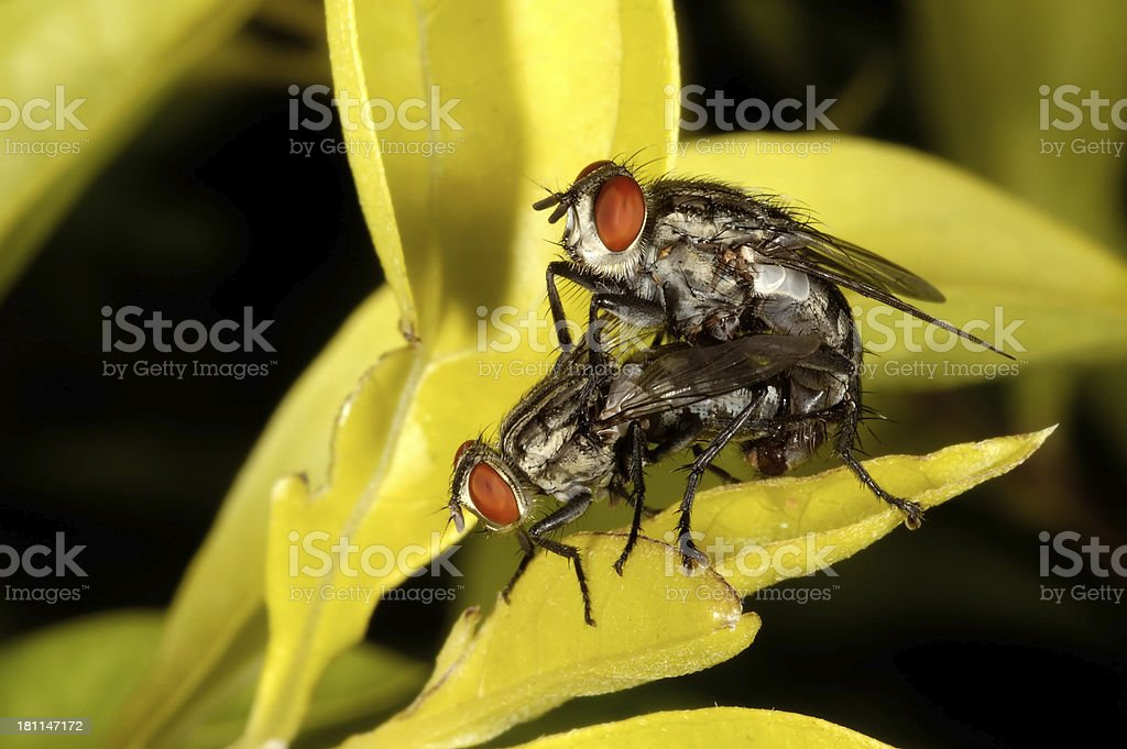 Mating House Flies royalty-free stock photo