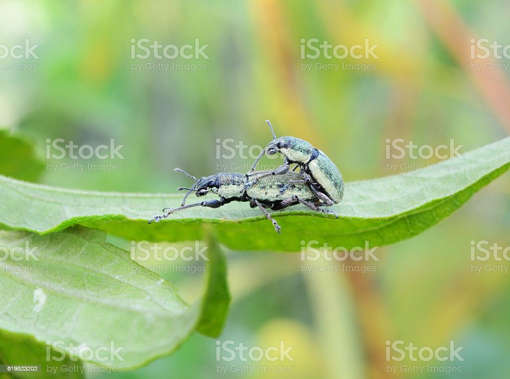 mating insect couples on green leaf stock photo
