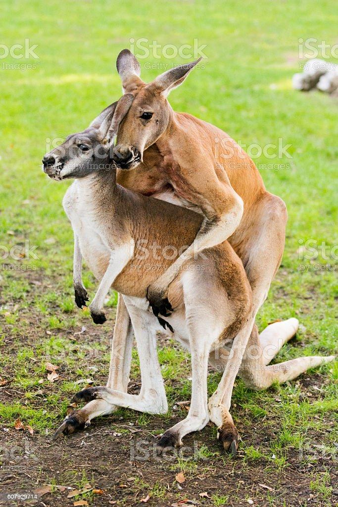 Mating kangaroos stock photo