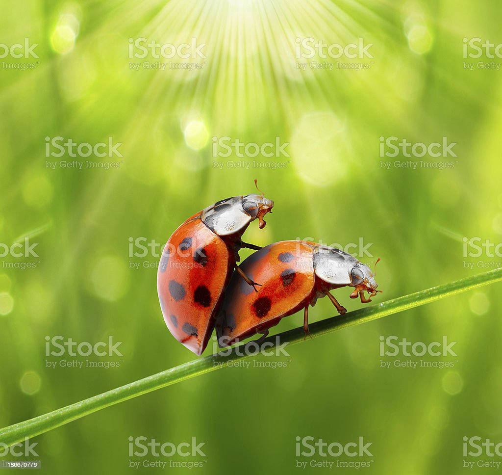 Mating lady bugs on grass blade against green background stock photo