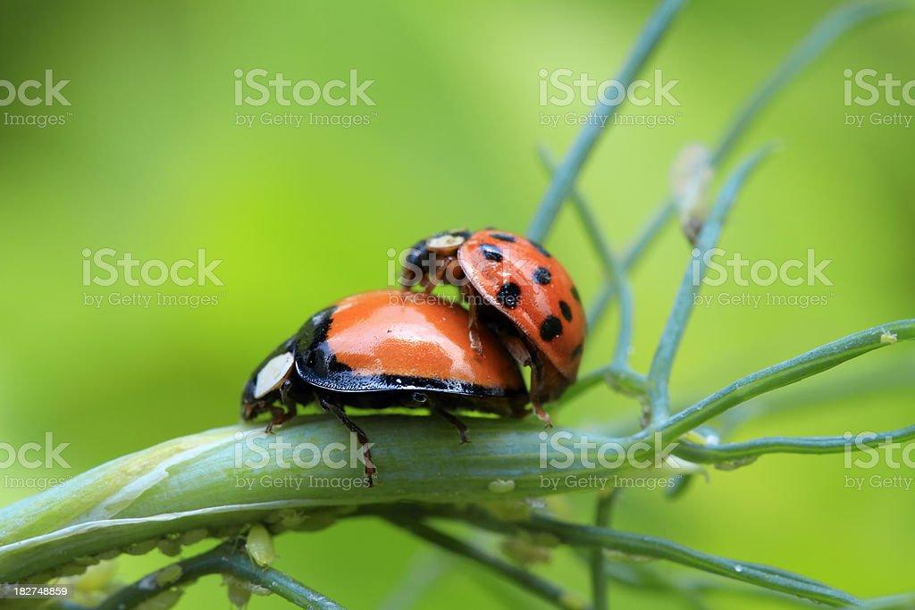 Mating ladybugs royalty-free stock photo