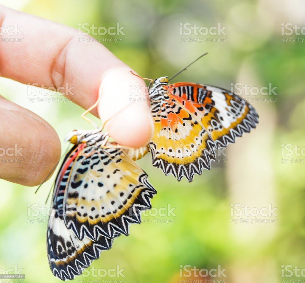 Mating Leopard lacewing (Cethosia cyane euanthes) butterfly stock photo