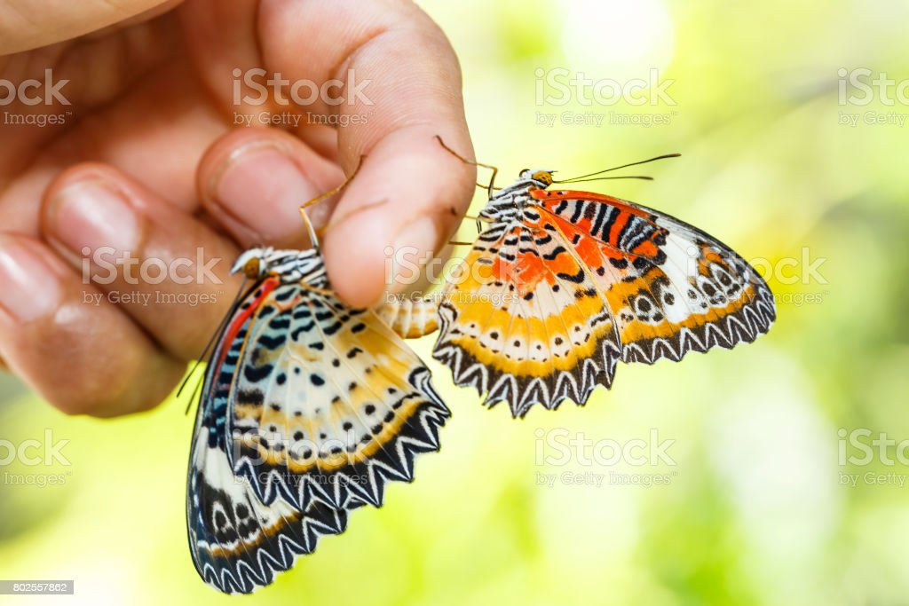 Mating Leopard lacewing (Cethosia cyane euanthes) stock photo