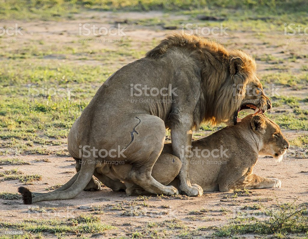 Mating Lion royalty-free stock photo