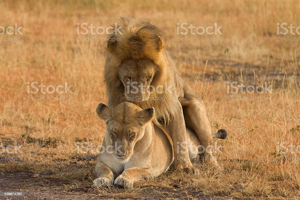 Mating lions in Masai Mara stock photo