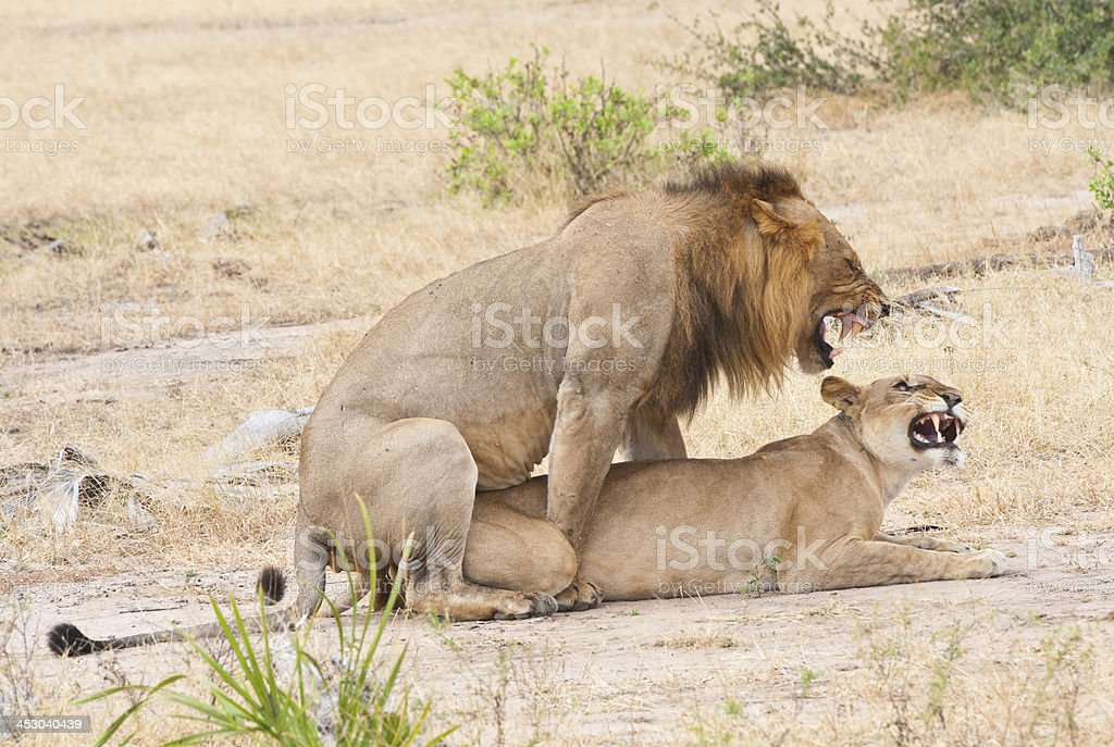 mating lions in the savannah royalty-free stock photo