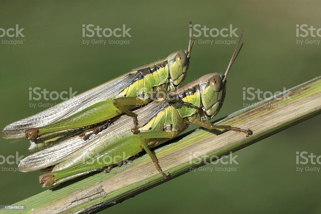 mating locust royalty-free stock photo