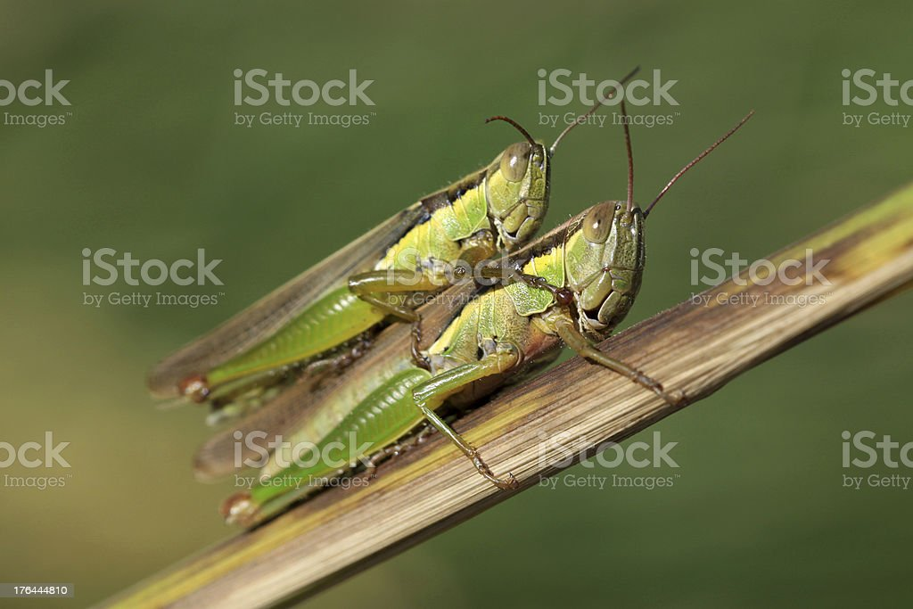 mating locust royalty-free stock photo