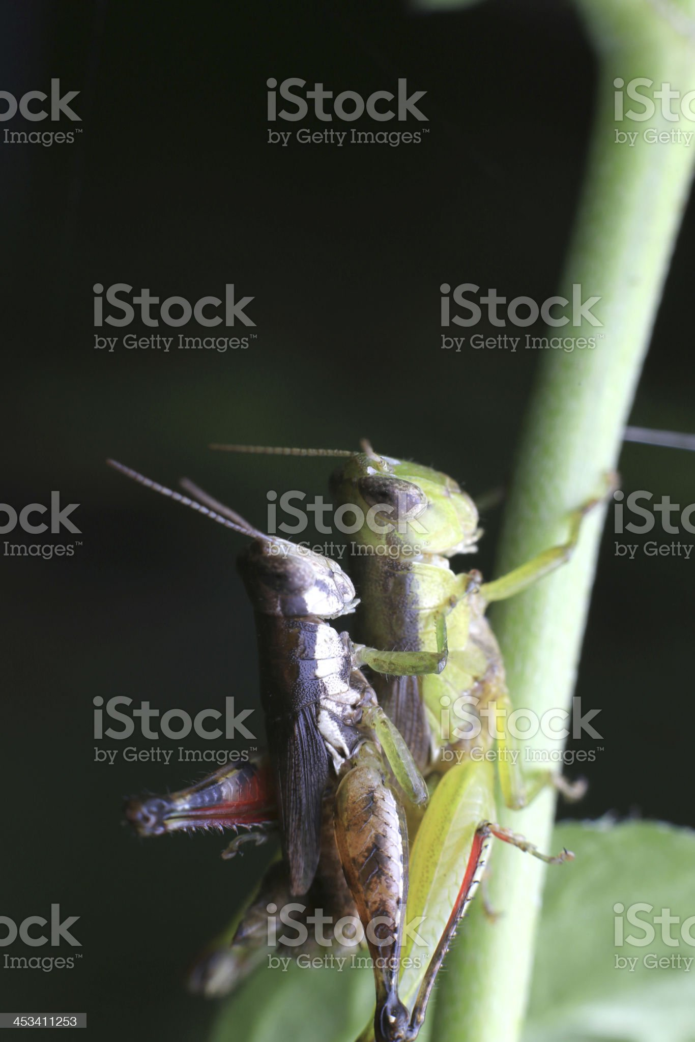 Mating locust under plant royalty-free stock photo