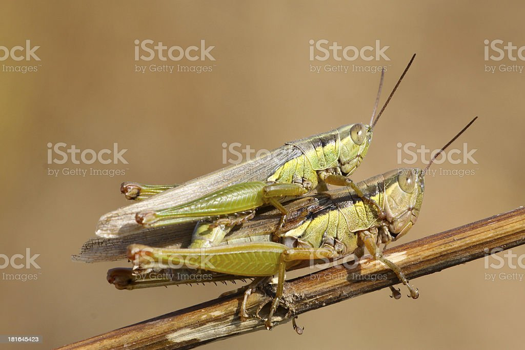 mating locusts royalty-free stock photo