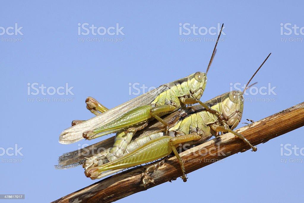 mating locusts royalty-free stock photo