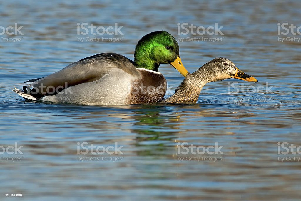 Mating Mallards stock photo