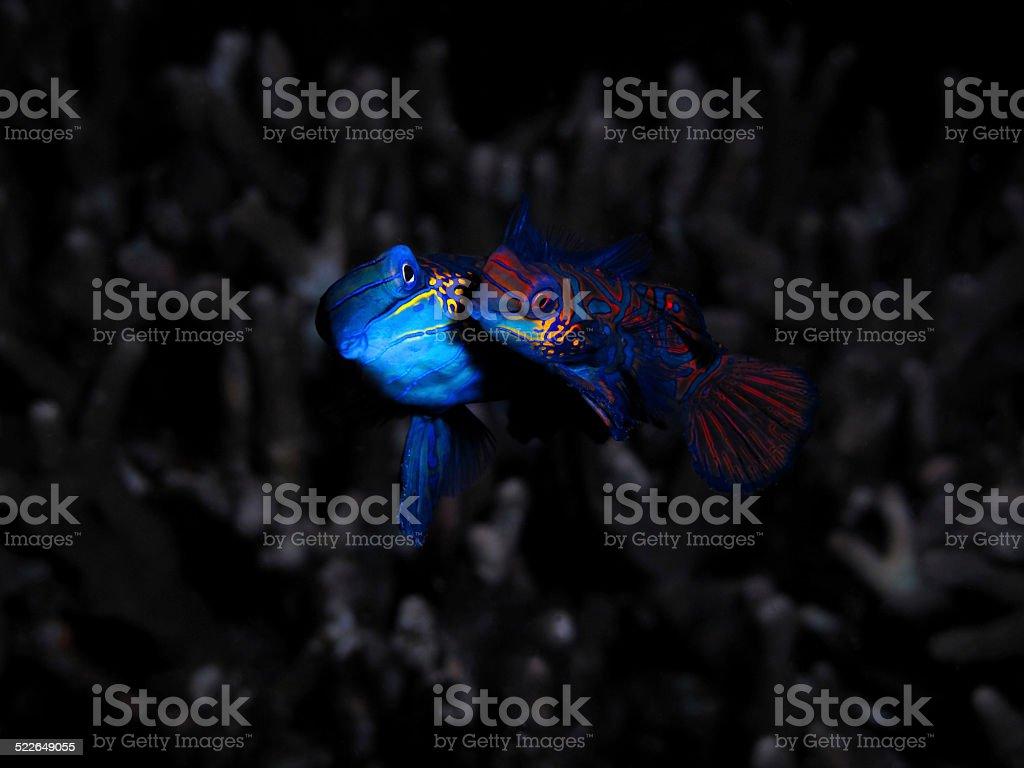 Mating Mandarin Fish stock photo