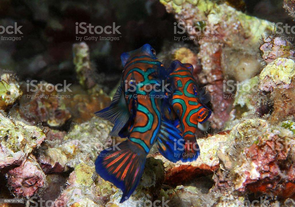 Mating Mandarinfish stock photo