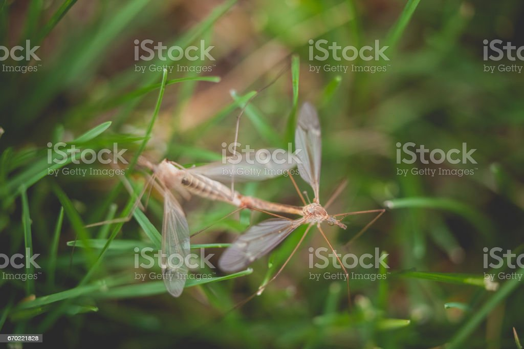 Mating mosquitoes stock photo