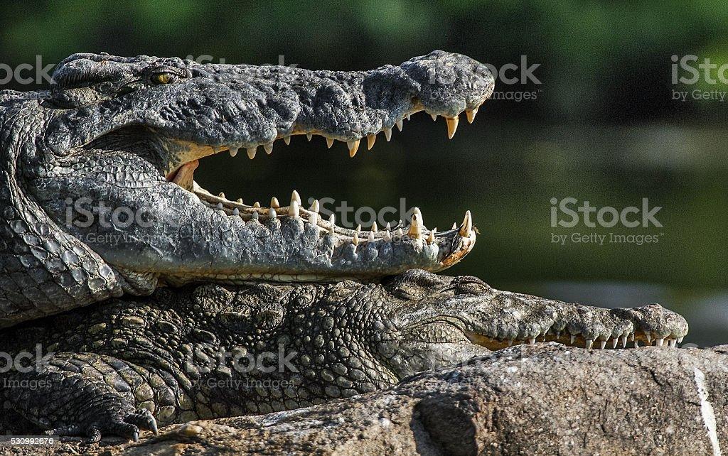 Mating Nile crocodiles stock photo