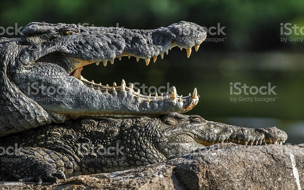 Mating Nile crocodiles stock photo